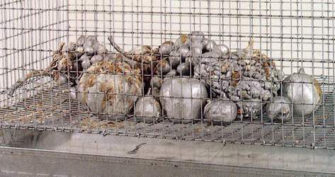 Michele Chiossi Natura Morta!, 1997 fusione in alluminio, gabbia, merlo indiano ammaestrato dimensioni variabili scultura patina composizione orientalismo still life Caravaggio