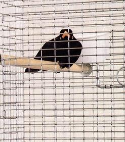 Michele Chiossi Natura Morta!, 1997 fusione in alluminio, gabbia, merlo indiano ammaestrato dimensioni variabili scultura patina composizione orientalismo still life